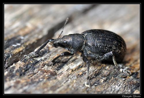 Charençon du lierre (Liophloeus tessulatus)