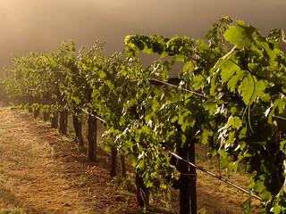 Sunlight in Foggy Vines