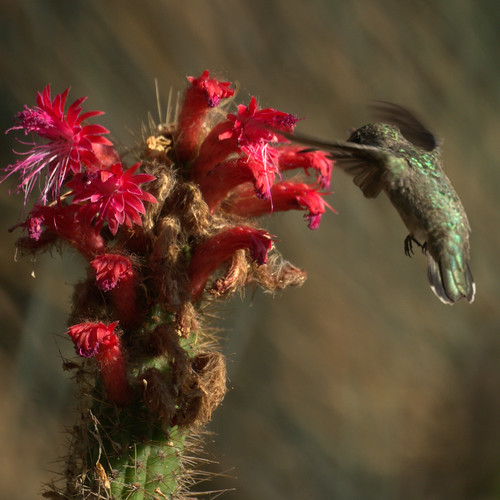 Hummingbird at Cactus Flowers