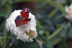 Peacock Butterfly, Martin Mere WWT, Burscough, Lancashire August 2012