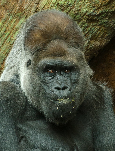 Gorilla 2 detail