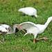 Small photo of American White Ibis chase (Eudocimus albus)