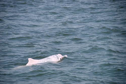還有機會看到白海豚的這一代,是幸運的,如何讓後代子孫了解這種生物的美好?而不是從博物館裡看見,我們需要即刻採取行動。攝影:簡毓群