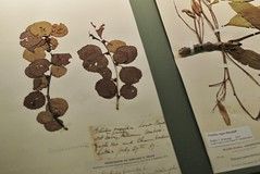 Thoreau's botanical specimens
