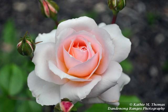 329-365 Betty Cuthbert Rose