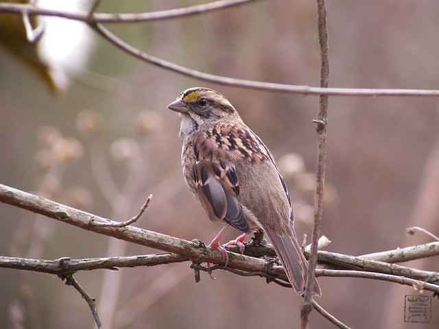 White-throated Sparrow, Nov 2011