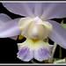 Cattleya dolosa caerulea 2