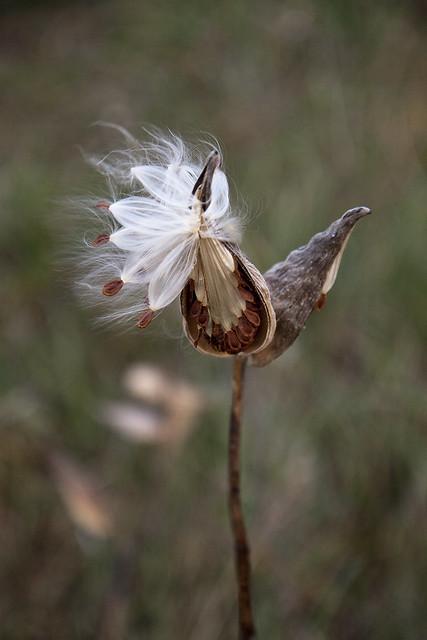 milkweed newly opened3