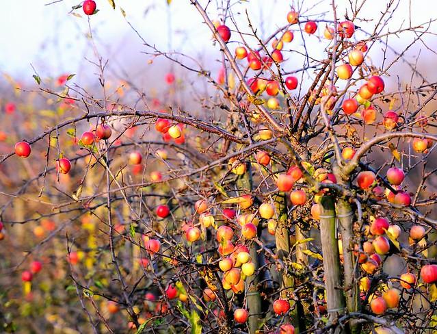 2036 apfelbaum im herbst apfelplantage mit pfeln in. Black Bedroom Furniture Sets. Home Design Ideas