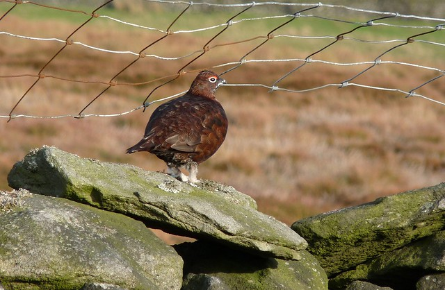 25363 - Red Grouse, Yorkshire