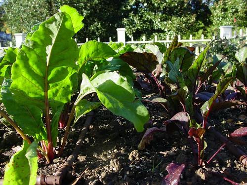 Is Pressure Treated Lumber Safe? - Microfarm Organic Gardens