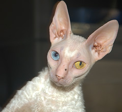 kitten(0.0), sphynx(0.0), peterbald(0.0), khao manee(0.0), burmilla(0.0), ukrainian levkoy(0.0), donskoy(0.0), oriental shorthair(0.0), tonkinese(0.0), nose(1.0), animal(1.0), cornish rex(1.0), small to medium-sized cats(1.0), pet(1.0), close-up(1.0), cat(1.0), carnivoran(1.0), whiskers(1.0), devon rex(1.0), hairless cat(1.0),