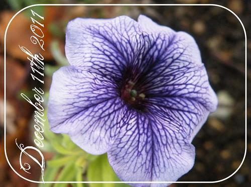 11th Dec - Petunia