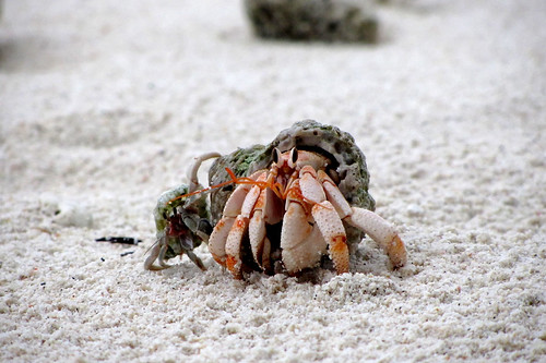 Juvenile Strawberry Land Hermit Crab