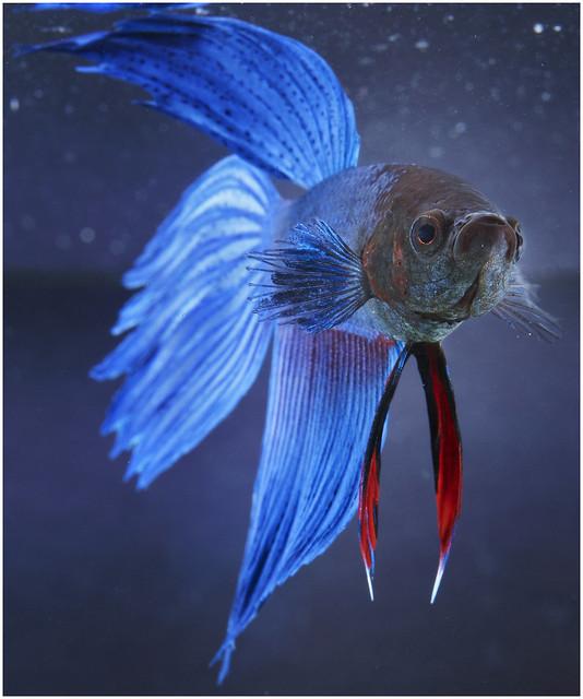 Male Betta Fish Flickr - Photo Sharing!