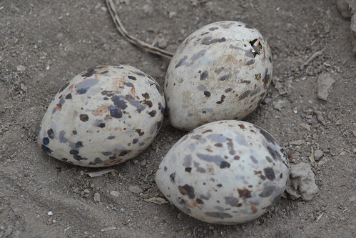 Black skimmer (Rynchops niger) chicks pipping in eggs