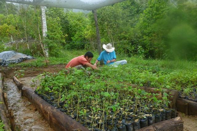 Siembra plantulas vivero mata de cacao 4 rna pauxi pauxi for Matas de viveros