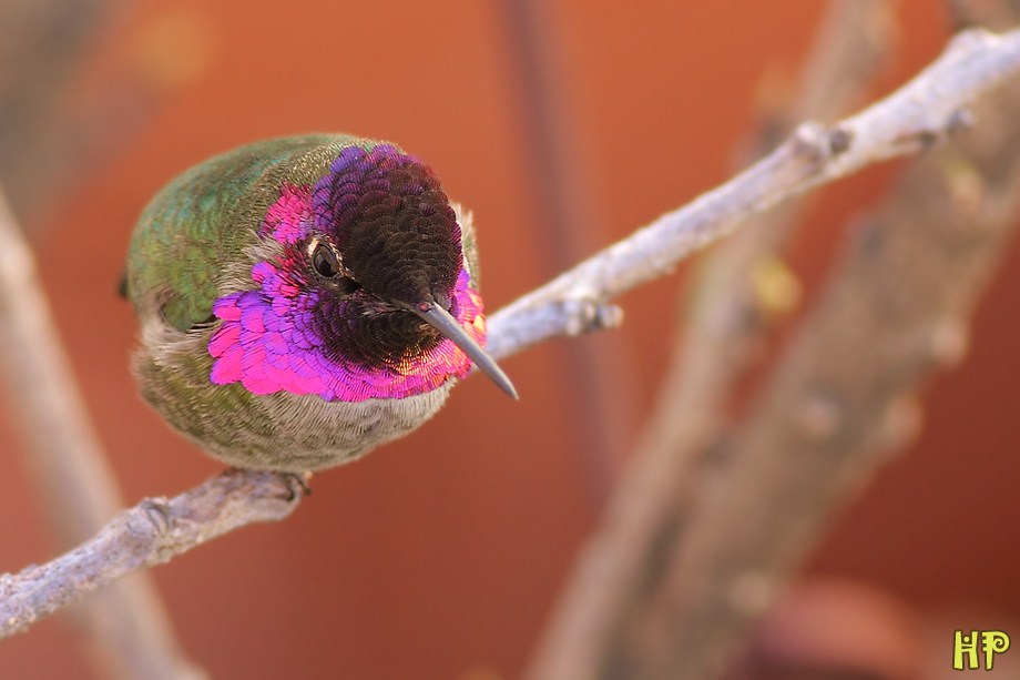 Anna's Hummingbird 122312-5