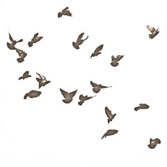 animal migration, animal, wing, flock, bird,