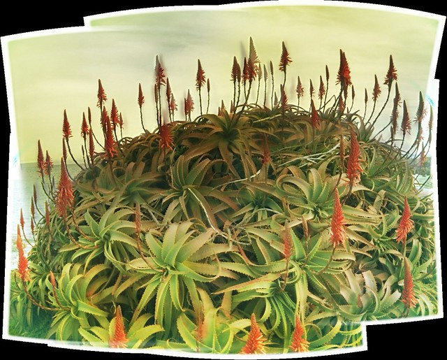 Aloe arborescens along Sunset Dr in Monterey Bay