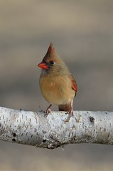 Mrs Cardinal DSC_2245 by Mully410 * Images