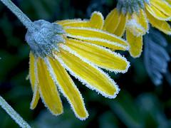 Helada en El Caliente de Agüera - The frost - azucar glass