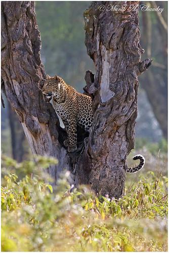 kenya ngc npc leopard lakenakurunationalpark femaleleopard bestofanimals goldwildlife canonef400mmf28lis naturesgreenpeace mothernaturesgreenearth amazingwildlifephotography macswildpixels
