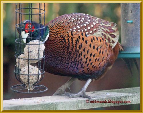 Pheasant 10