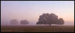 Foggy Oak Morning