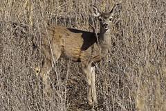 7/366  Oh, Deer