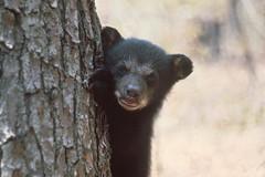 Bear Cub Peeking Around Tree
