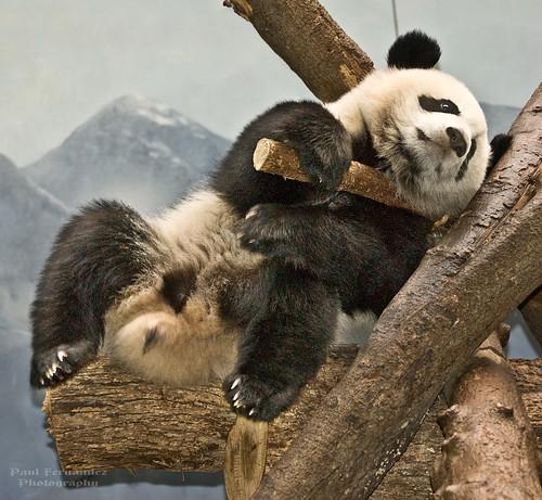 atlanta georgia zoo po giantpanda zooatlanta pandacub pandagiant
