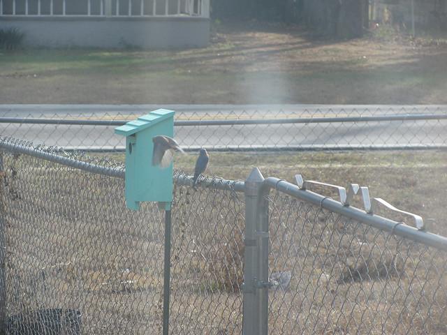 BlueBirds checking out nextbox 01