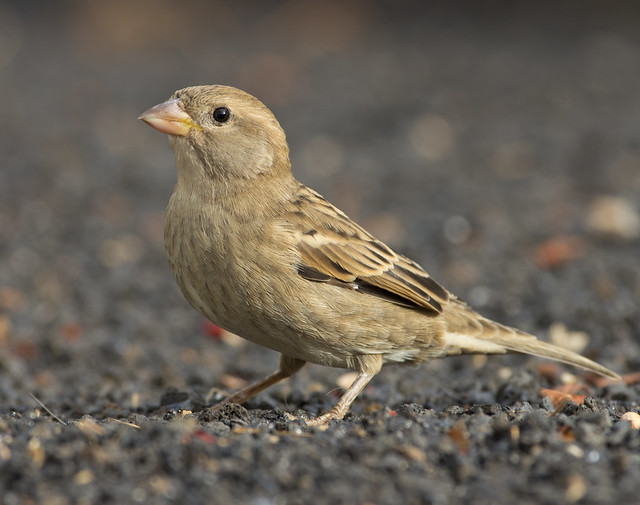 Spanish sparrow 5