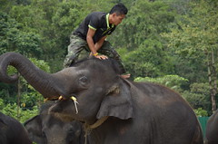 water buffalo(0.0), safari(0.0), animal(1.0), adventure(1.0), indian elephant(1.0), elephant(1.0), elephants and mammoths(1.0), fauna(1.0), mahout(1.0), jungle(1.0), wildlife(1.0),