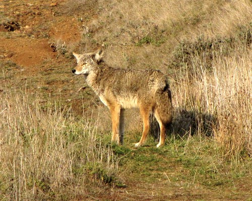 1coyote deer3 scott campell fairfield