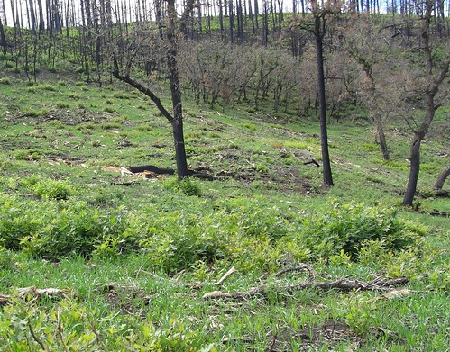 Post-Track Fire seeding takes hold: aerial seeding of one of the slopes scarred by the Track Fire proves successful as vegetation sprouts days after the aerial seeding.