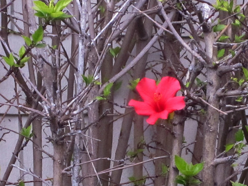 Lonely Red Hibiscus