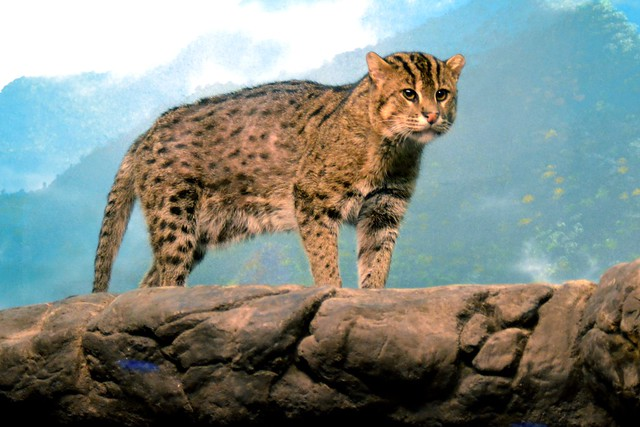 Fishing Cat (Up High)
