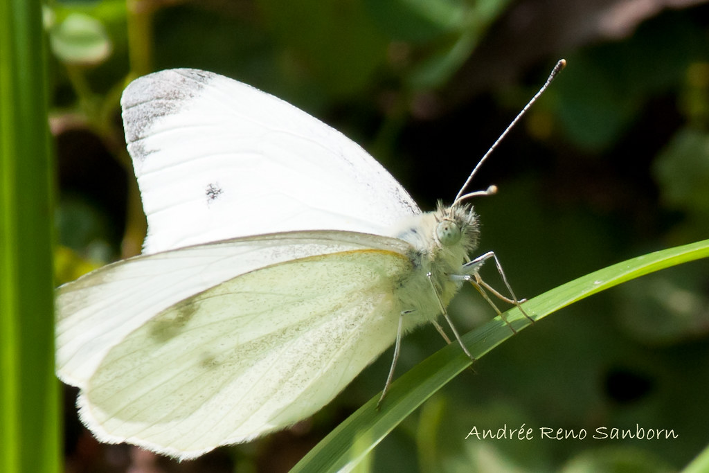 Cabbage White Butterfly (Pieris rapae)-4.jpg