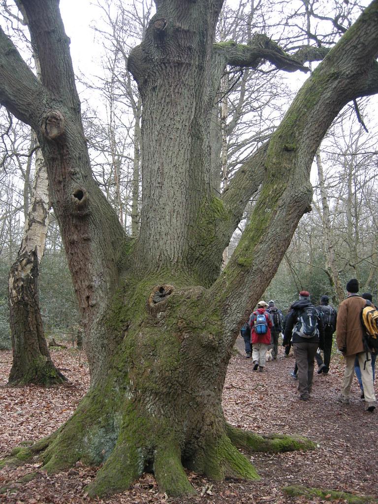 Large oaks