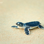 Bébé tortue verte / Baby green turtle
