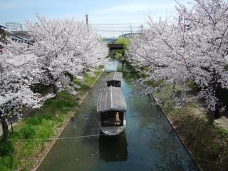 十石船と桜①