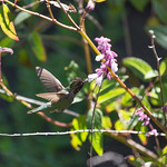 Hummingbird, Balboa Park