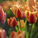 Tulips In My Fifty by raisinsawdust - (aka: withaneyephotography)