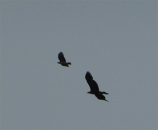 Golden eagle & Red-tailed hawk; 4/21/14 @2:24pm; San Mateo County