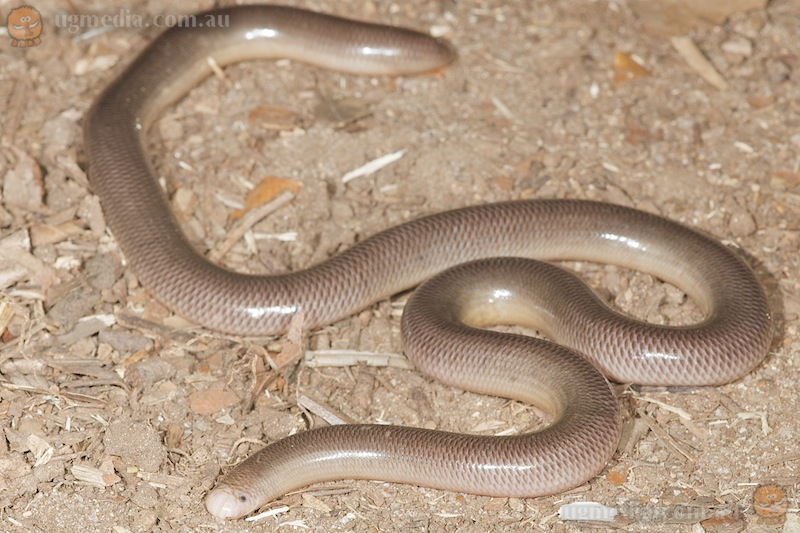 North-eastern blind snake (Ramphotyphlops polygrammicus)