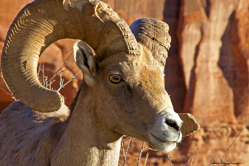 colorado nationalmonument desertbighorn wildanimals blinkagain bestofblinkwinners blinkagainsuperstars blinksuperstar