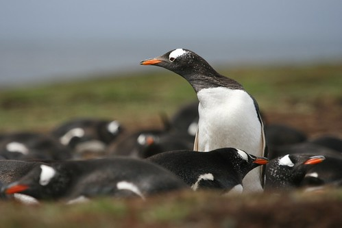 Gentoo Penguin rookery on Leopard Beach, Carcass Island by Niquinho
