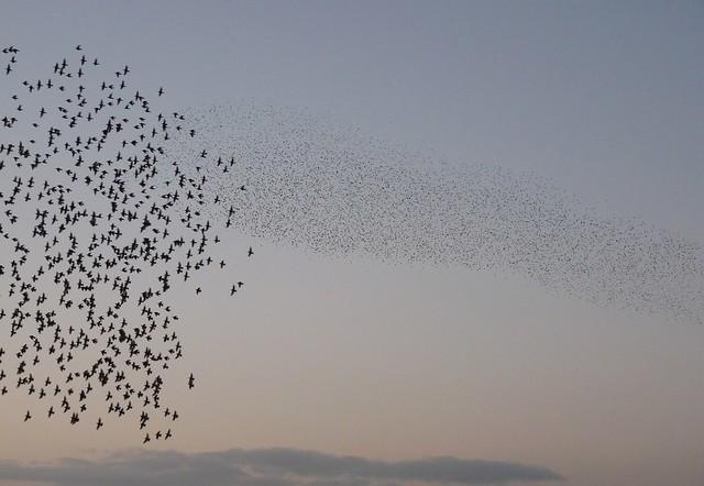 25381 - Starling Murmuration, WWT Llanelli